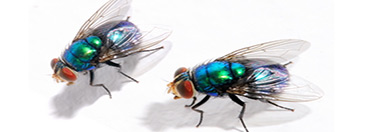 bottle-flies-pest-control-nj-2