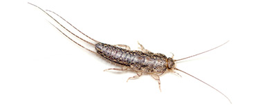 insect-control-silverfish