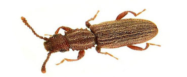 sawtoothed-grain-beetle-pest-control-2