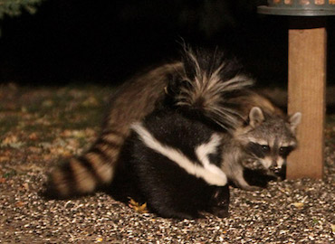 bowco-skunk-raccoon