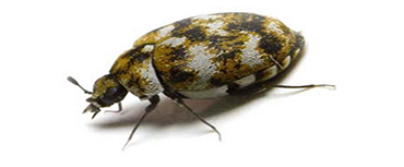 carpet-beetle-insect-control