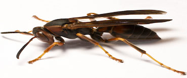 paper-wasp-insect-control-nj-2