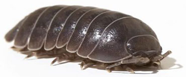 pill-bug-insect-control-nj